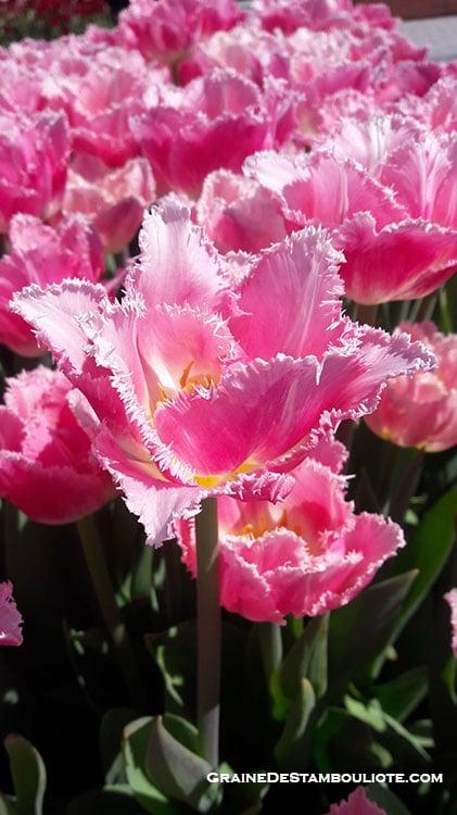 festival de la tulipe d'Istanbul