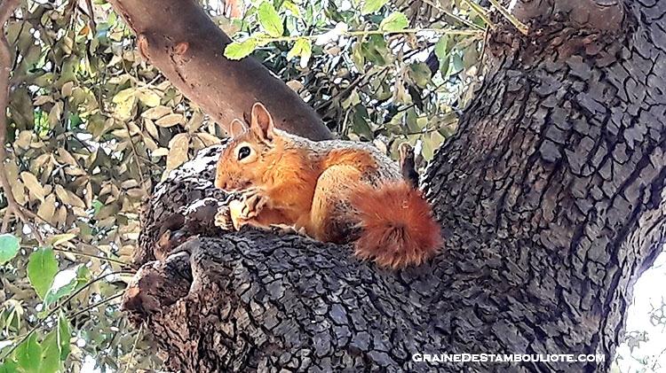 Ecureuil du parc Yildiz à Istanbul