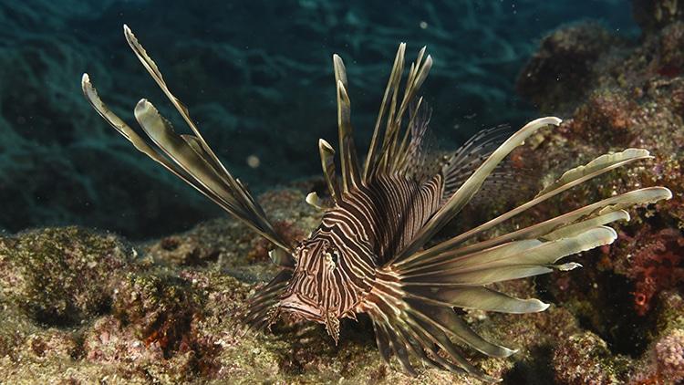 poisson-lion ou rascasse volante, espèce lessepsienne, venue de mer rouge en méditerranée, Aire marine protégée Kas-Kekova,
